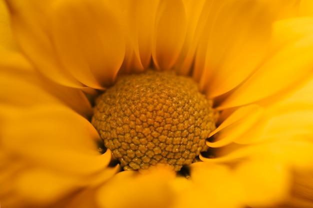 Schönes gelbes chrysanthemenmakro Kostenlose Fotos