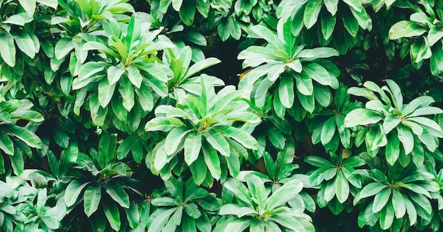 Schönes grünes, frisches und gesundes laub der tropischen baumdekoration im hinterhofgarten Premium Fotos