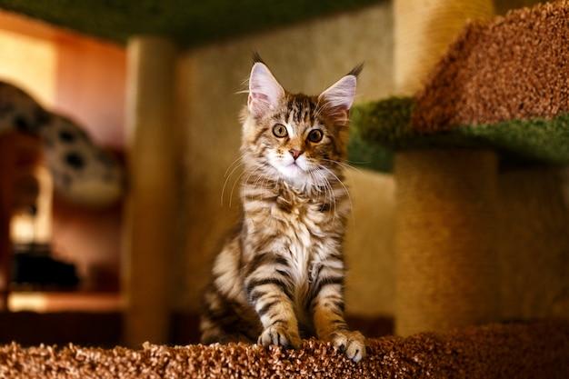 Schönes kätzchen in einem streifen maine coon. Premium Fotos