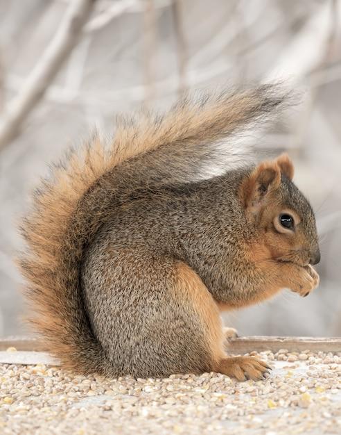 Schönes niedliches fuchs-eichhörnchen, das von selbst heraushängt Kostenlose Fotos