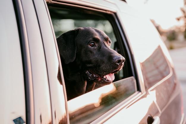 Schönes schwarzes labrador in einem auto bereit zu reisen. stadt hintergrund. beobachten am fenster bei sonnenuntergang. reise-konzept Premium Fotos