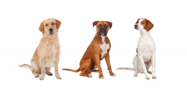 Schönes volles porträt von drei hunden Premium Fotos