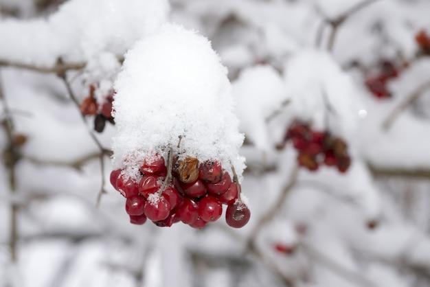 Schönes winterbild der roten runden beeren bedeckt mit schnee während des winters Kostenlose Fotos