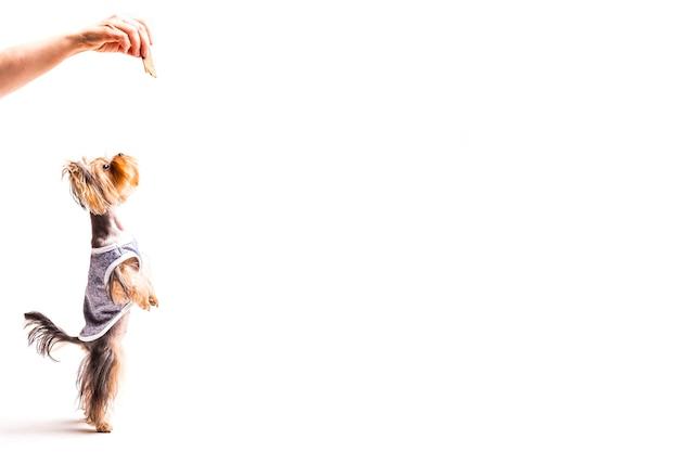 Schönes yorkshire, das mit der hand steht auf seinen hinterbeinen isst Kostenlose Fotos