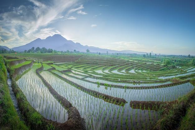 Schönheitslandschaftspaddyfelder in nord-bengkulu, indonesien mit erstaunlichem morgenhimmel Premium Fotos