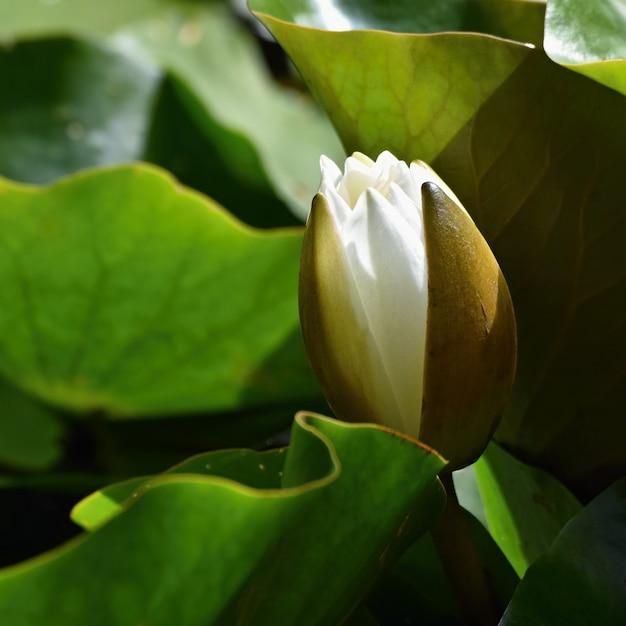 Schöne blühende Blume - weiße Seerose auf einem Teich. (Nymphaea ...