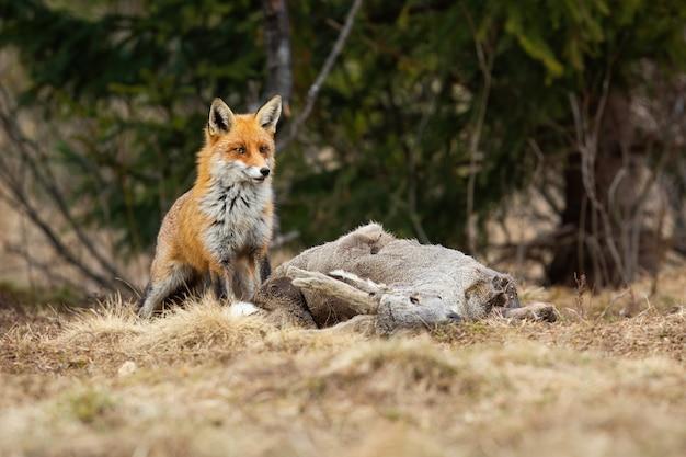 Schüchterner roter fuchs, der nahe einer tötung von reh in der winternatur wartet Premium Fotos