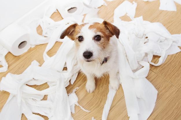 Schuldiger hundekrimi nach dem spiel, das rollentoilette beißt Premium Fotos