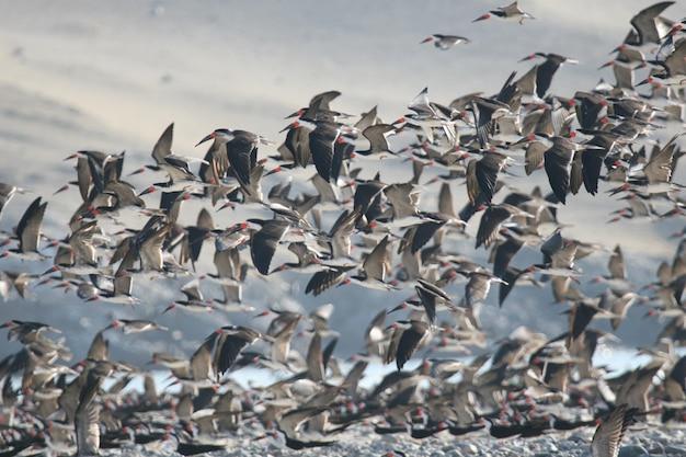 Schwarze skimmer fliegen Premium Fotos
