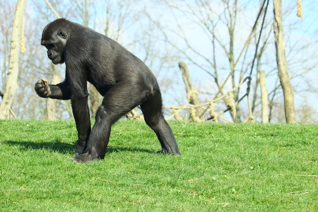 Schwarzer gorilla, der tagsüber auf grünem gras geht Kostenlose Fotos