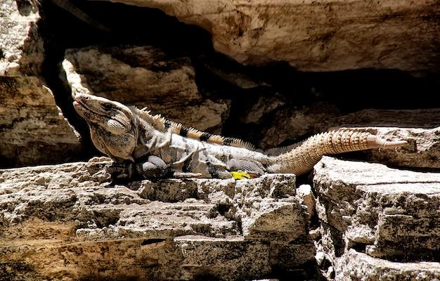 Schwarzer leguan, ctenosaura-pectinata, nehmend auf einigen felsen nahe dem meer ein sonnenbad. Premium Fotos