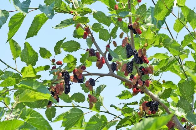 Schwarzer maulbeerbaum bedeckt mit früchten Premium Fotos