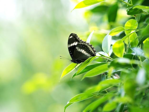 Schwarzer schmetterling auf grünem blatt, entspannen sich und beruhigen sich mit naturkonzept Premium Fotos