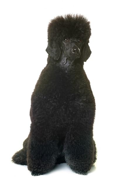 Schwarzer zwergpudel Premium Fotos
