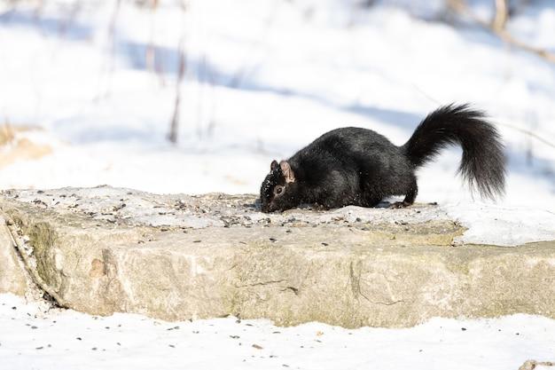 Schwarzes eichhörnchen, das im winter oben auf dem stein nach nahrung sucht Kostenlose Fotos