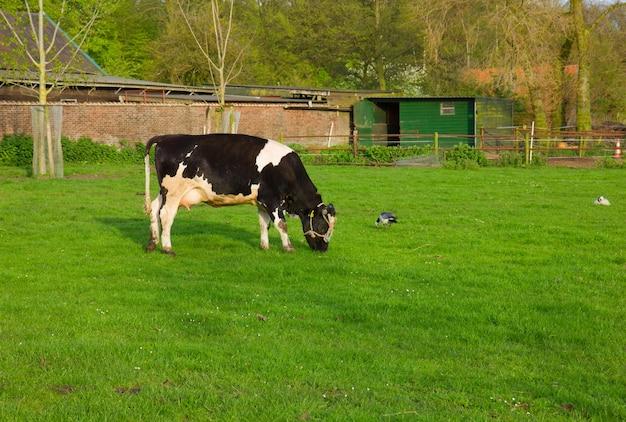 Schwarzweiss-kuh, die gras auf weide isst Premium Fotos