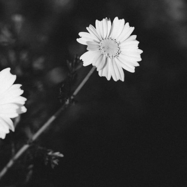 Schwarzweiss-schuss einer blühenden blume Kostenlose Fotos