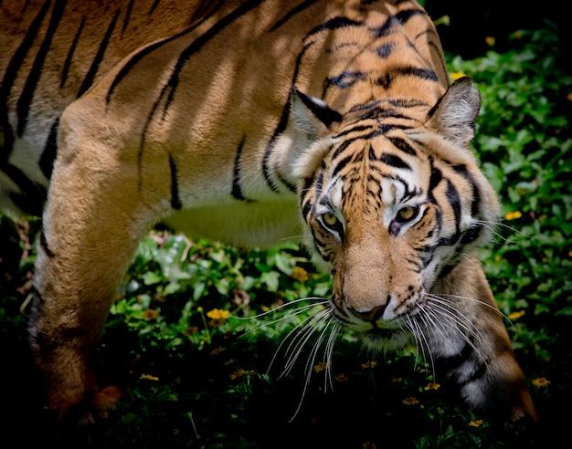 Schwarzweiss-tiger, der sein opfer schaut und bereit ist, es zu fangen. Premium Fotos