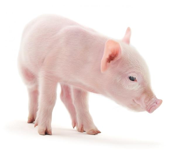 Schwein auf weiß Premium Fotos