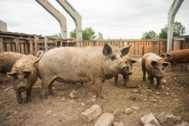 Schweine im stall eines bauernhofes Kostenlose Fotos
