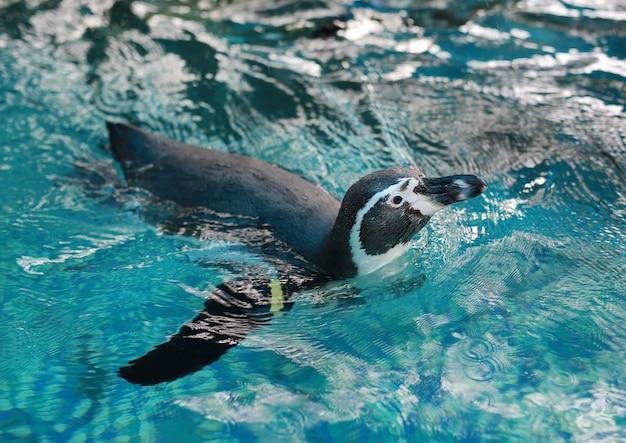 Schwimmen des humboldt-pinguins (spheniscus humboldti) Premium Fotos