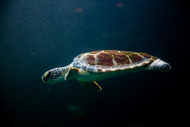 Schwimmschildkröte im dunklen ozeanwassermeer Premium Fotos