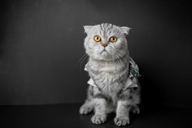 Scottish fold cat hocken auf dem tisch. Premium Fotos