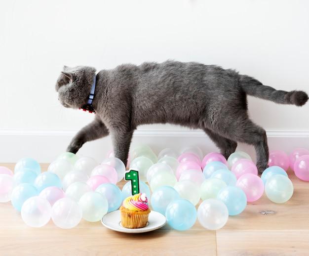 Scottish fold katze, die ihren ersten geburtstag feiert Kostenlose Fotos