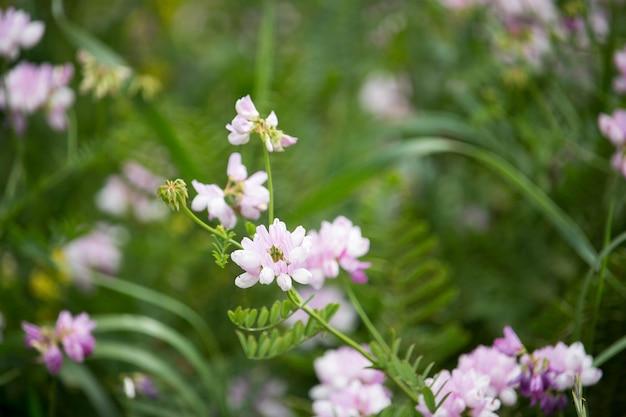 Securigera (coronilla) varia blumen. lila kronenwicke Premium Fotos