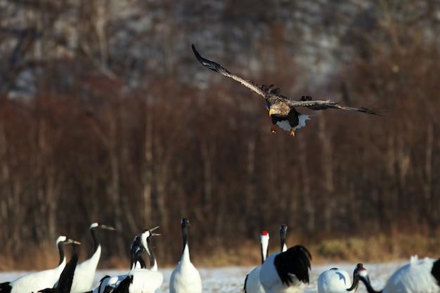 Seeadler fliegt über der gruppe der schwarzhalskraniche in hokkaido in japan Kostenlose Fotos