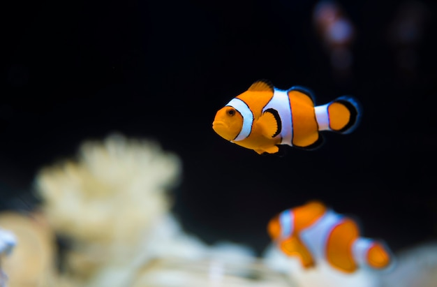 Seeanemone und clownfische im marineaquarium osaka japan Premium Fotos