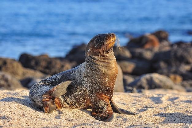 Seelöwe am strand Premium Fotos