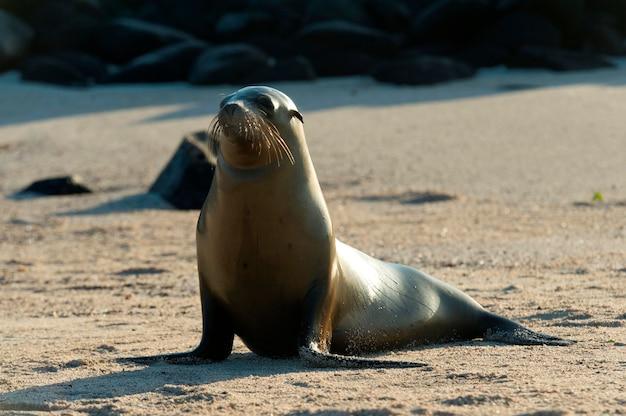 Seelöwe auf dem strand, punta suarez, espanola-insel, galapagos-inseln, ecuador Premium Fotos