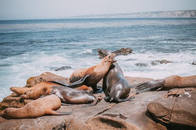 Seelöwenfamilie am strand liegend. nette entzückende tiere. tier- und tiernatur amerikas. Premium Fotos