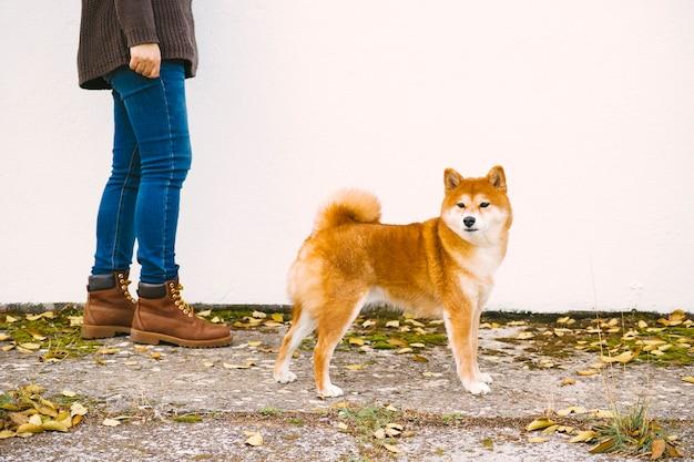 Seiten- und nahaufnahmefoto eines shiba hundes, der auf die straße mit seinem inhaber geht Premium Fotos
