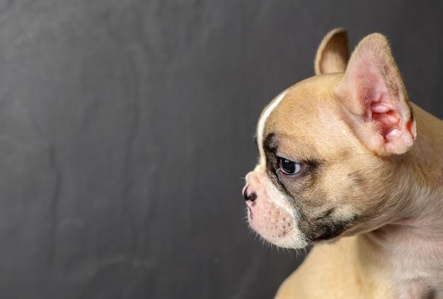Seitenansicht der niedlichen kleinen französischen bulldogge Premium Fotos