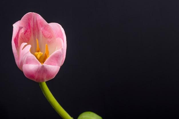 Seitenansicht der rosa farbe tulpenblume lokalisiert auf schwarzem tisch mit kopienraum Kostenlose Fotos