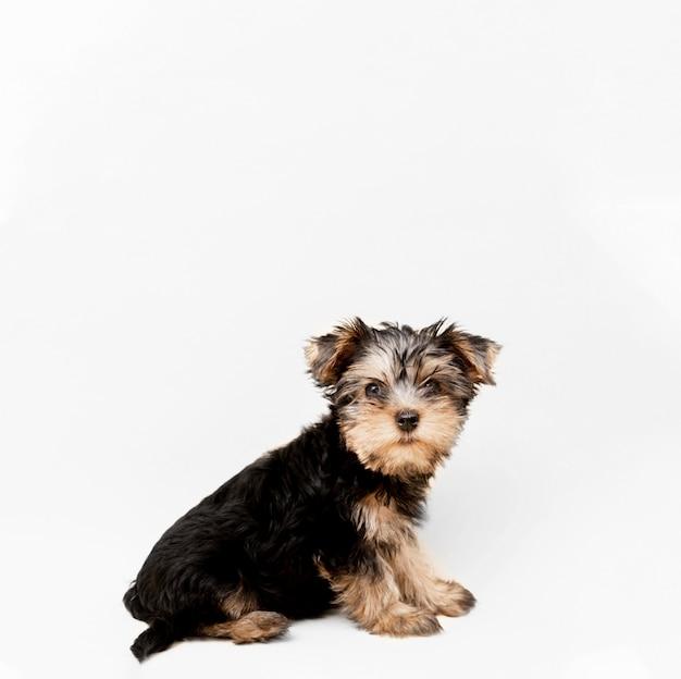 Seitenansicht des charmanten yorkshire terrier welpen mit kopienraum Premium Fotos