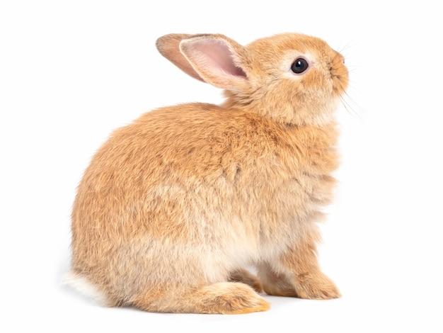 Seitenansicht des rotbraunen netten kaninchensitzens und des gesichtes aufwärts lokalisiert auf weißem hintergrund. Premium Fotos