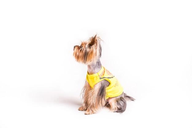 Seitenansicht von nettem yorkshire mit dem gelben mantel lokalisiert auf weißem hintergrund Kostenlose Fotos