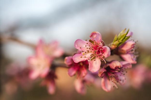 Selektive fokusansicht der schönen kirschblüten in einem garten, der an einem hellen tag gefangen genommen wird Kostenlose Fotos