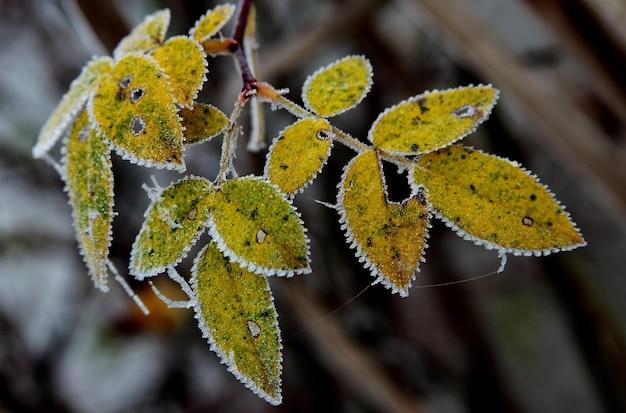 Selektive fokusansicht von gelben blättern, die durch frost mit einem unscharfen hintergrund bedeckt sind Kostenlose Fotos