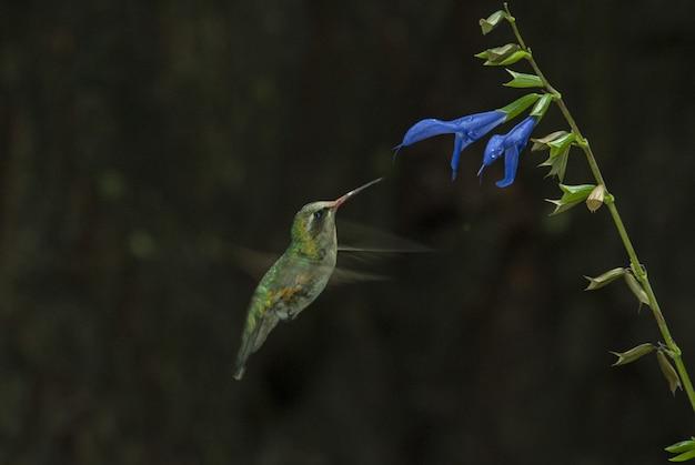 Selektive fokusaufnahme eines niedlichen colibri, der den geschmack einer blauen blume riecht Kostenlose Fotos