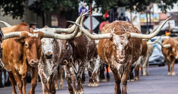 Selektive fokusaufnahme von longhorns, die auf der straße gehen Kostenlose Fotos