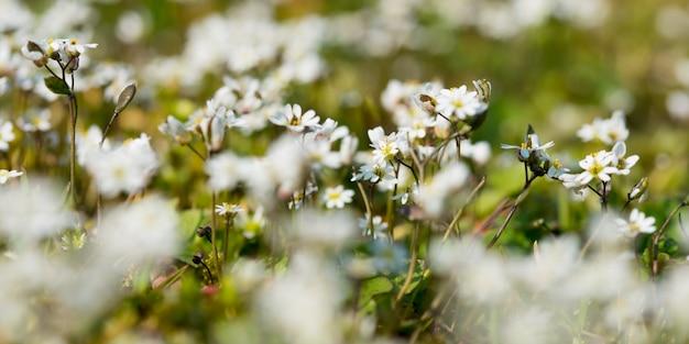 Selektiver fokus nahaufnahme schuss einer schönen matricaria recutita blumen in einem feld Kostenlose Fotos