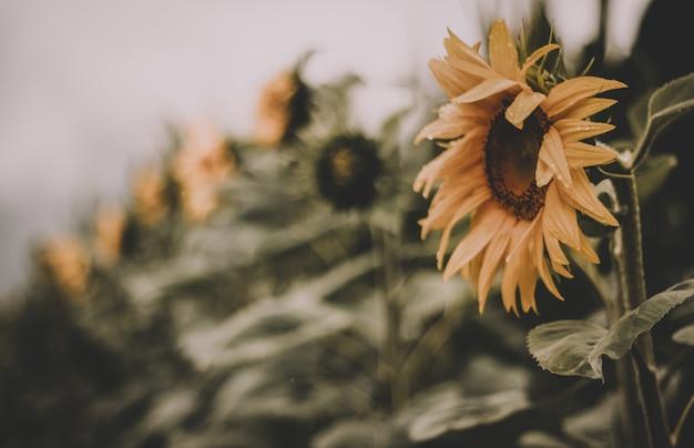 Selektiver fokus sonnenblumenhintergrund Kostenlose Fotos