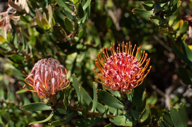 Selektiver fokusschuss der nahaufnahme eines rosa zuckerbusches unter sonnenlicht Kostenlose Fotos