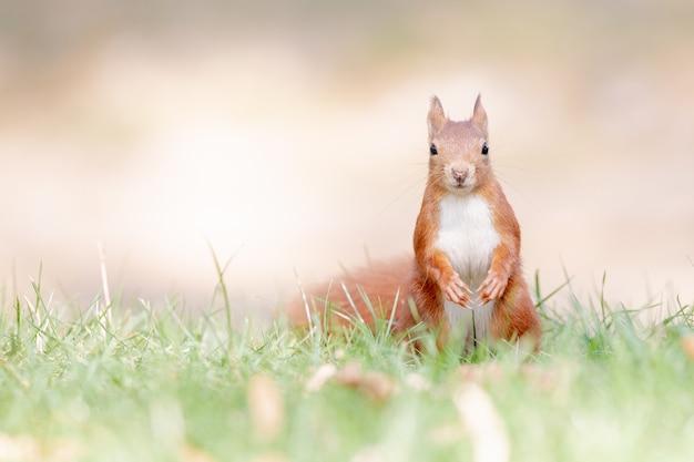 Selektiver fokusschuss des roten eichhörnchens im wald Kostenlose Fotos
