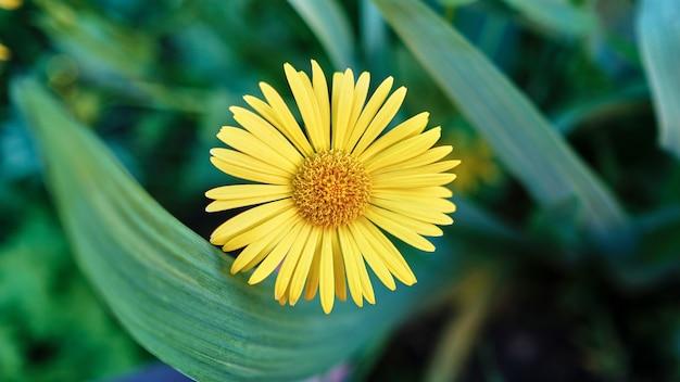 Selektiver fokusschuss einer schönen gelben gänseblümchenblume, die in einem garten gefangen genommen wird Kostenlose Fotos