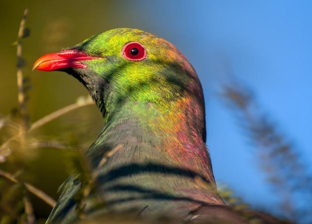 Selektiver fokusschuss einer schönen taube in neuseeland Kostenlose Fotos